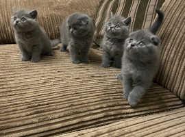Blue Scottish fold kittens for sale