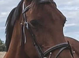 16hh project mare for sale/loan