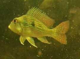 Geophagus Surinamensis - Approx 3 inches