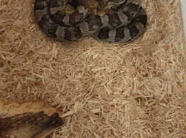 Corn snake viv and accsessories