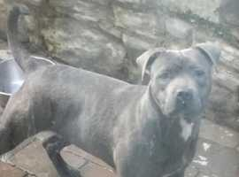 6month old staffy blue bitch for sale
