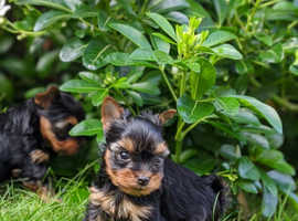 Small Yorkshire Terrier Puppies
