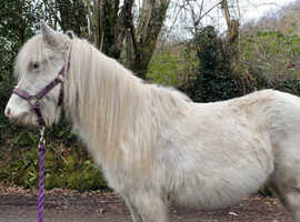 Beautiful cremello mare