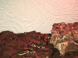 6 month old Royal/ball Python With Vivarium Set up
