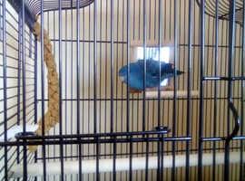 Parakeet & full set up for sale