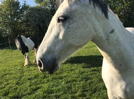 14.2/3hh mare