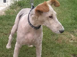Wire haired fox terrier bitch