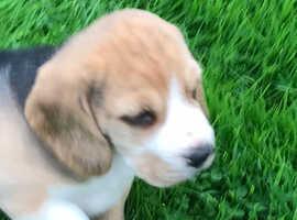 Beagle Puppies Tri Coloured
