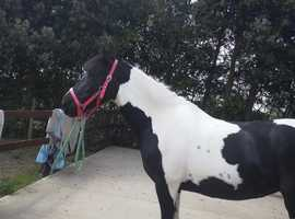 ALL ROUNDER MARE FULL LONE