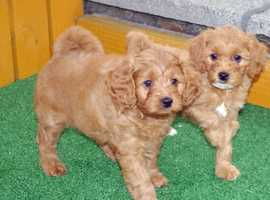 Stunning litter of F1b Cavapoo pups