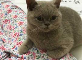 Grey British Short Hair Kitten.