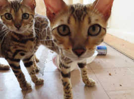 4 beautiful bengal kittens for sale!!!