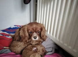 F1 cavapoo pups, solid red
