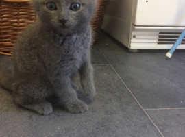 British Blue x kittens Ready Now