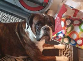 Bulloxer American bulldog/boxer