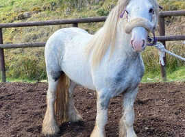 Sam 3 year old cob