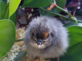 Gorgeous Maran Chicks