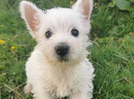 Stunning West Highland Terriers