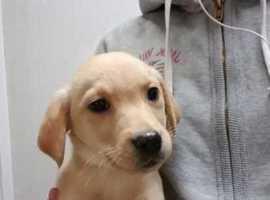 Labrador Female Puppy