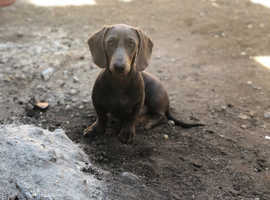 7 month old blue and tan miniature dachshund