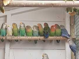 Various lovebirds - masked, lutino, peachfaced etc