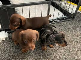 Pra clear dachshund pups