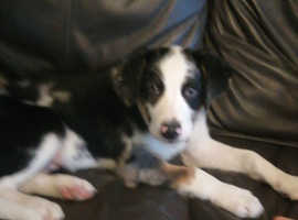Gorgeous male 16 week old Welsh collie.