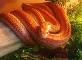 Stunning Female Albino Striped Corn