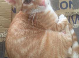 Rare beautiful ginger x bengal kitten