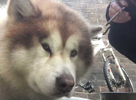 Alaskan malamute, ginger, stud, with papers.