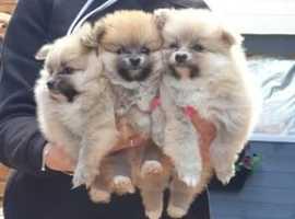 Pomeranian kc puppies