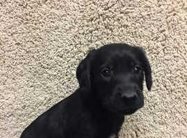 Cocker Spainel x jack Russell puppie