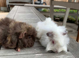 Now Reserved . 2 Handsome long haired baby male guinea pigs.