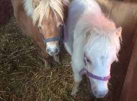 Two miniature horse filly's