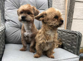 Shorkie puppies due in Greater Manchester
