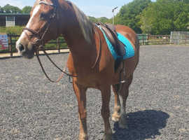14.2hh 23 year old Welsh cob mare sale/loan