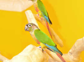 Baby Conure for sale,27