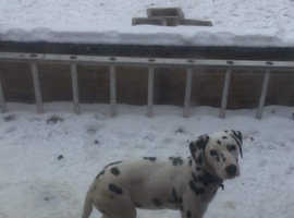 Male dalmatian dog pedigree with papers