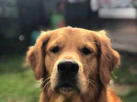 Dark Golden Retriever Pups