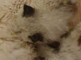 Rare Sealpoint Himalayan colourpoint kittens