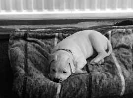 Staffy puppy 8 months old