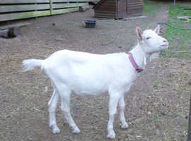 2 white saanen x pygmy goats.Friendly pets.Go together. OFFERS taken (NO PRICE SHOWN!)