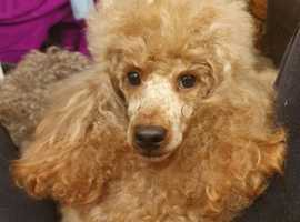 RED KC REG TOY POODLE FOR STUD ONLY! HEALTH TESTED