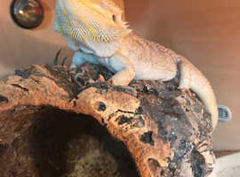 Bearded dragons For Sale & Rehome in Dorset | Find Lizards