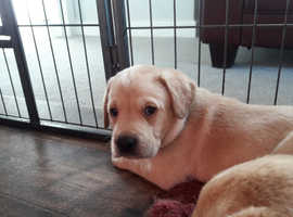 Pedigree Labrador, dog puppy