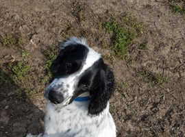 Springer spaniel dog for sale