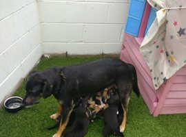 Huntaway pups for sale