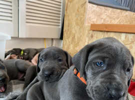 Blue great dane pups for sale