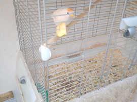 Isabel redpoll hen,