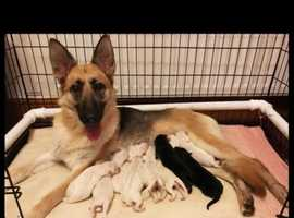 Stunning Straight backed German Shepherd puppies